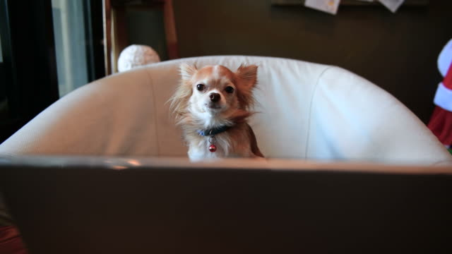 chihuahua dog playing laptop - small stock videos & royalty-free footage