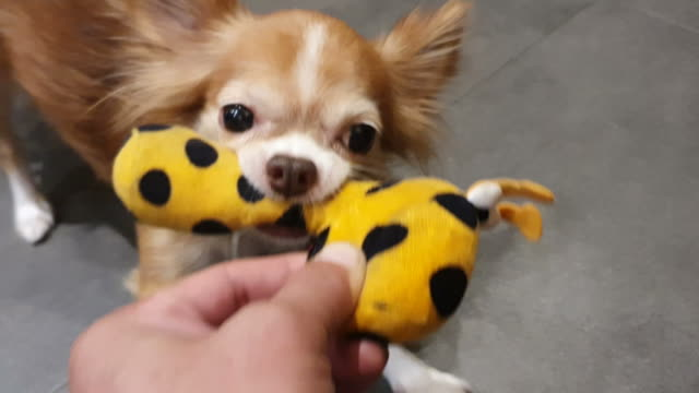 chihuahua dog playing toy - chihuahua stock videos & royalty-free footage
