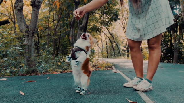 Chihuahua dog reaching snack
