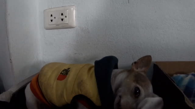 chihuahua dog resting in shoe box - dog coat stock videos and b-roll footage