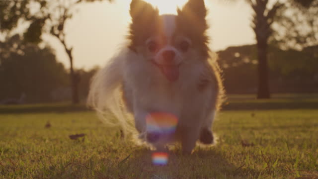 chihuahua dog running in slow motion ,4k - chihuahua stock videos & royalty-free footage