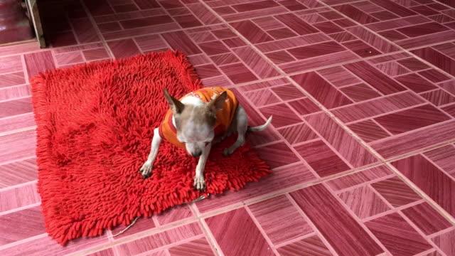 Chihuahua Hund kratzen