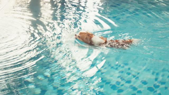 Chihuahua Hund im pool