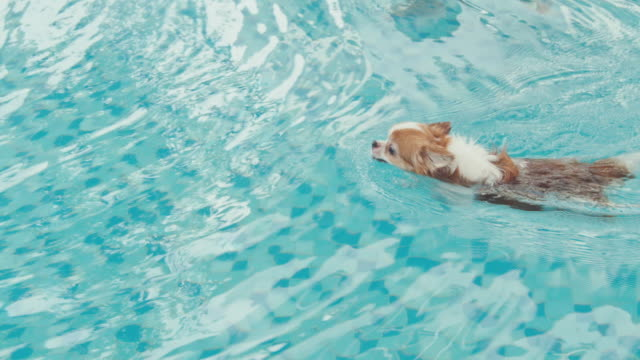 chihuahua dog swimming in pool - chihuahua dog stock videos and b-roll footage