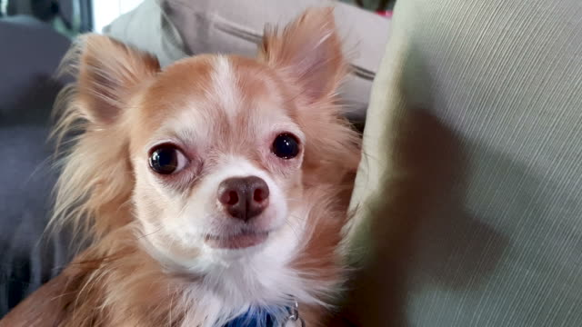chihuahua dog - animal eye stock videos & royalty-free footage