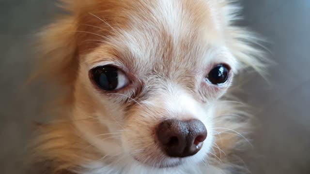 chihuahua dog - bark stock videos & royalty-free footage
