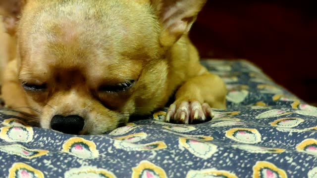 chihuahua dog - mattress stock videos and b-roll footage