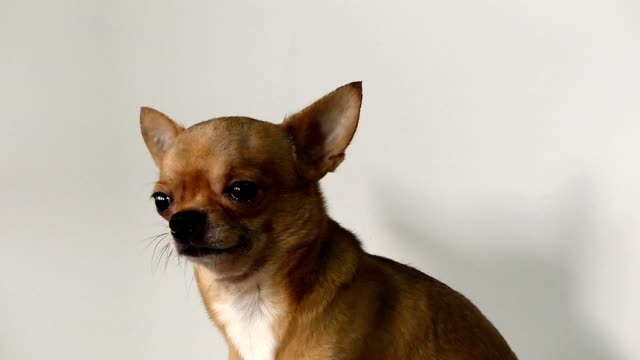 chihuahua dog - dog tail stock videos and b-roll footage