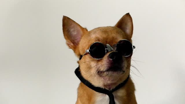 chihuahua dog - sunglasses stock videos & royalty-free footage