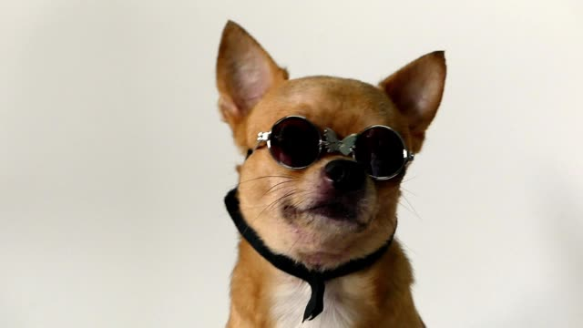 chihuahua dog - chihuahua dog stock videos and b-roll footage