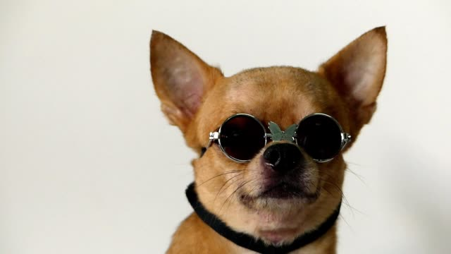chihuahua-dog - sonnenbrille stock-videos und b-roll-filmmaterial