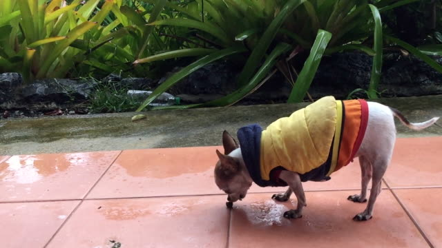 chihuahua dog wears winter coat - chihuahua stock videos & royalty-free footage