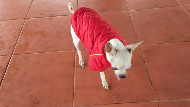 chihuahua dog wears winter coat - dog coat stock videos and b-roll footage