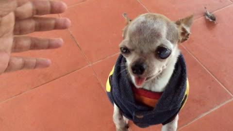 vídeos de stock, filmes e b-roll de chihuahua cão usa casaco de inverno - bichos mimados