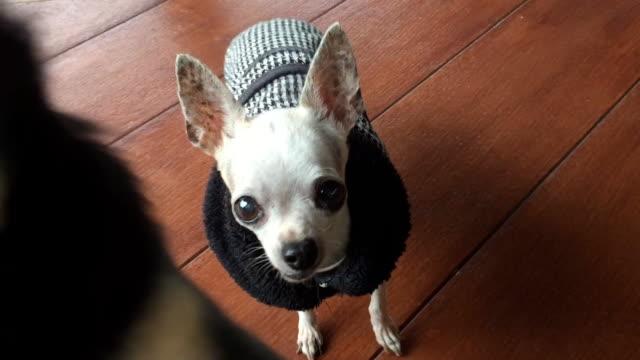 チワワ犬の冬のコートを着ています。 - オーバーコート点の映像素材/bロール