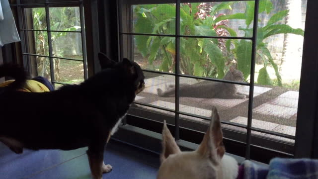 Chihuahua dogs barking at cat