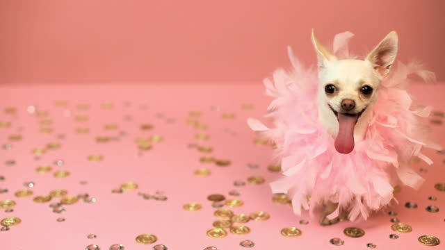 chihuahua in a tutu - studio shot stock videos & royalty-free footage
