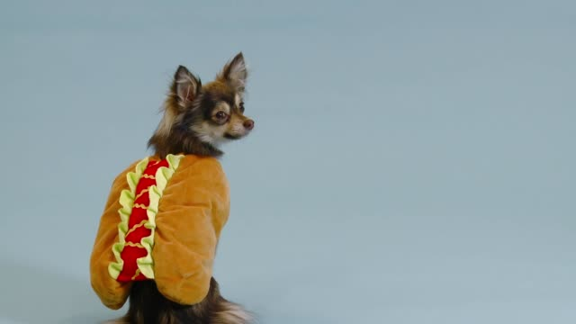 chihuahua on plain background - hot dog stock videos & royalty-free footage