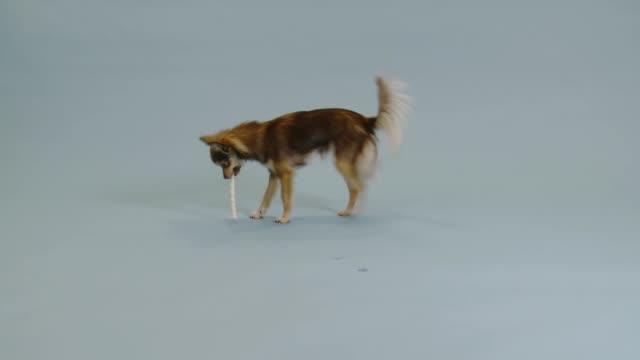 Chihuahua on plain background