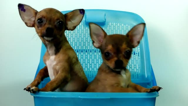 Chihuahua puppies in the basket