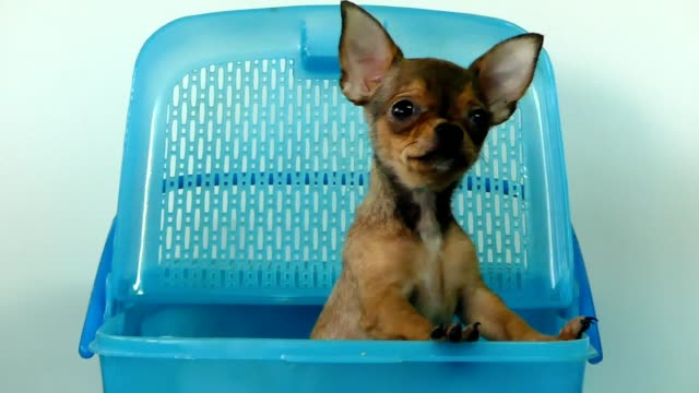 Chihuahua puppy in the basket