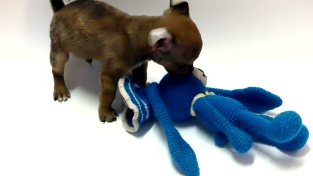 stockvideo's en b-roll-footage met chihuahua pup - hondje