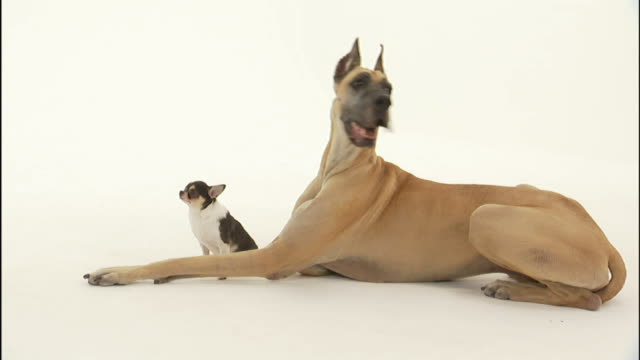 a chihuahua sits between the long legs of a great dane. - cagnolino da salotto video stock e b–roll