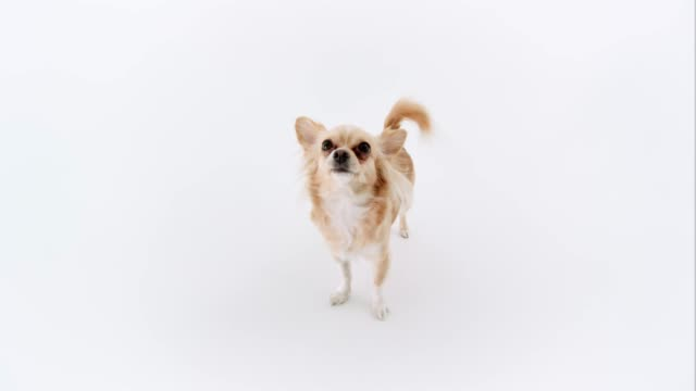 chihuahua white background - chihuahua stock videos & royalty-free footage