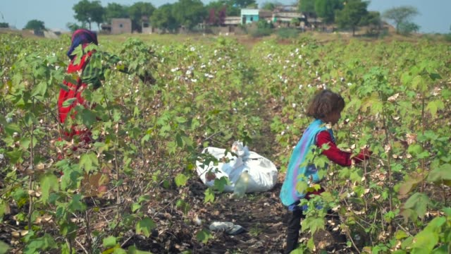 vidéos et rushes de child and mother harvesting in a cotton farm with her mother in barwani, madhya pradesh, india - fil mercerie