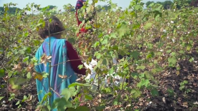 child and mother harvesting in a cotton farm with her mother in barwani, madhya pradesh, india - cotton stock videos & royalty-free footage