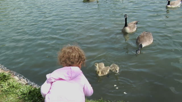 child feeding geese in pond - medium group of animals stock videos & royalty-free footage
