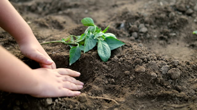 child hands planting young tree on black soil - branch plant part stock videos & royalty-free footage