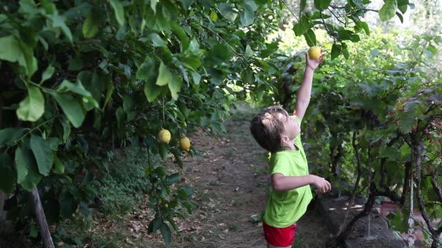 vídeos de stock e filmes b-roll de child picked up a fruit on a tree - limão