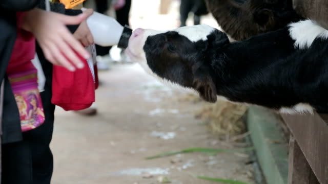 Children feeding milk to baby cow