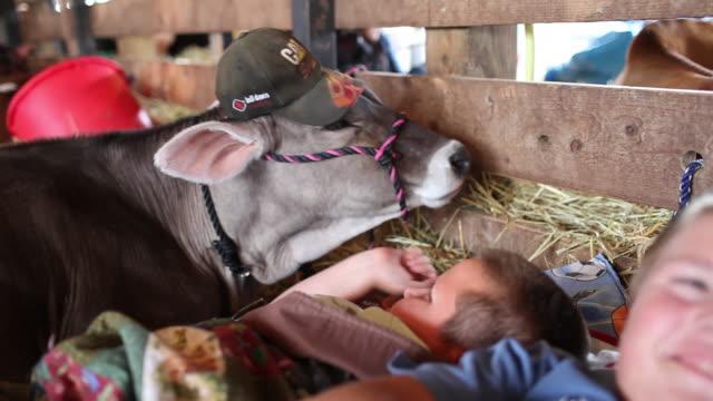 vídeos de stock e filmes b-roll de children laying in hay with a cow at the delaware county fair. - nariz de animal