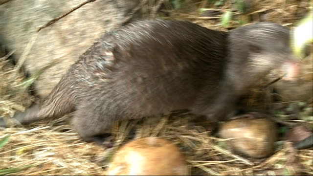 children meet the otters at the london wetland centre otter eating by stones on dry land - otter stock videos & royalty-free footage