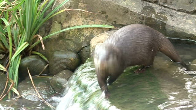 children meet the otters at the london wetland centre otter walking along in flowing water - otter stock videos & royalty-free footage