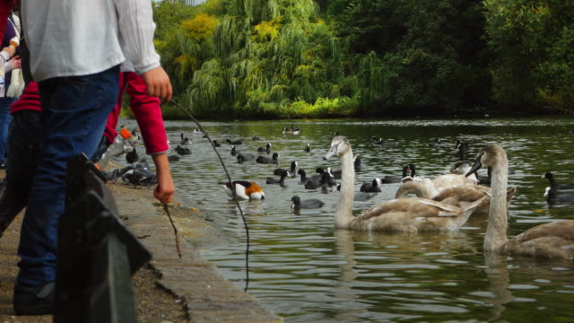 Children Teasing Swans In London St. James's Park (UHD)