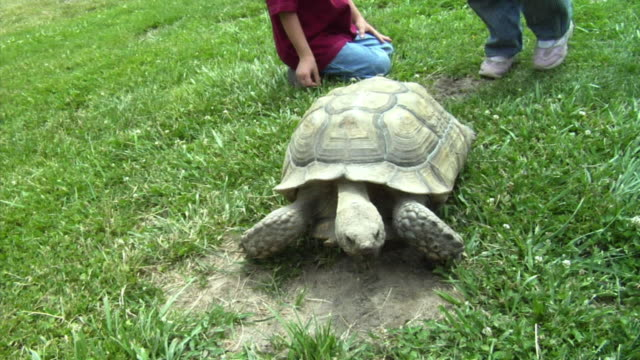 MS, Children (3-7) touching and feeding tortoise walking on grass, Richmond, California, USA