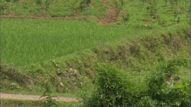 ws children walking across rice paddy, guilin, guangxi zhuang autonomous region, china - guilin stock videos & royalty-free footage