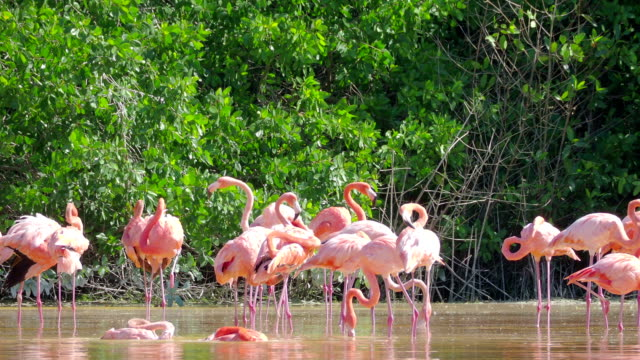 Chilean Flamingo Birds in Celestun Wildlife Reserve, Mexico