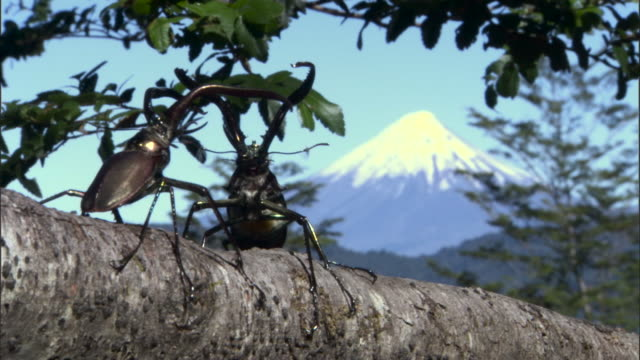 chilean stag beetles (chiasognathus grantii) fight on branch. - south america stock videos & royalty-free footage