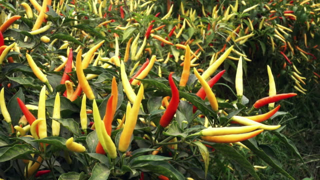 チリペッパー植物 - 唐辛子点の映像素材/bロール