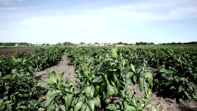 chili peppers plants; hd dolly shot - pepper seasoning stock videos and b-roll footage