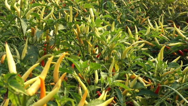 Chili Pflanze 4 K