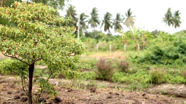 Chili-Pflanzen im Garten.