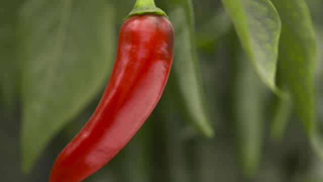 chillies ripen in greenhouse, uk - 赤唐辛子点の映像素材/bロール