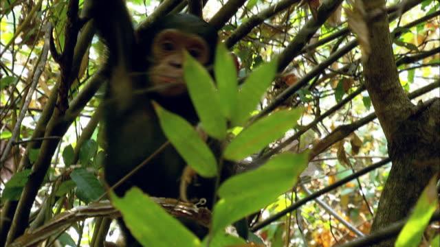 Chimp child climbing on a tree