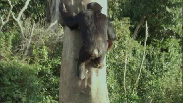 ws tu chimp climbing tree, ngamba island chimpanzee sanctuary, ngamba island, uganda - dragon tree stock videos & royalty-free footage