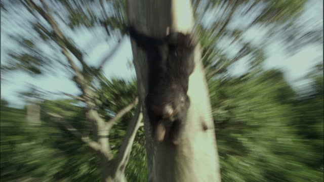 cu zo ws tu chimp climbing tree, ngamba island chimpanzee sanctuary, ngamba island, uganda - dragon tree stock videos & royalty-free footage